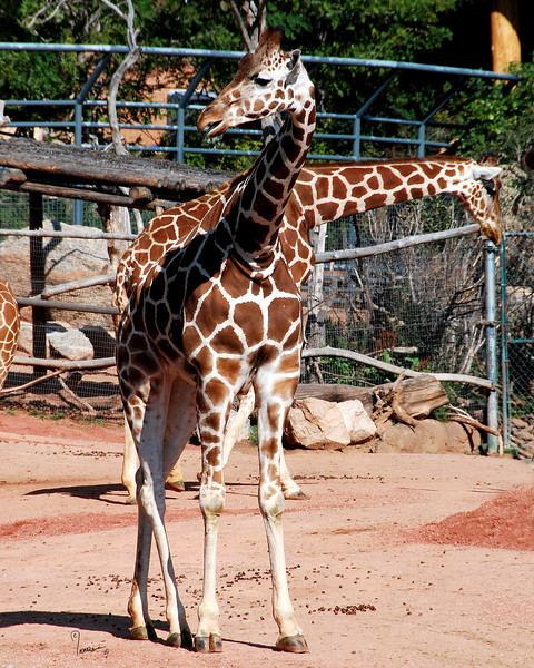 CMZ giraffes 2794 ac il9 sh200