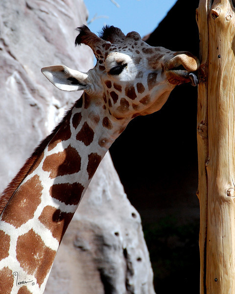 CMZ giraffe 2807 al il23 sh200