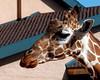 CMZ giraffe 2804 al il11 sh200