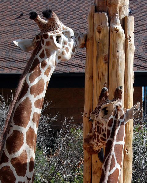 CMZ giraffes 2808 al sh200