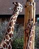 CMZ giraffes 2809 al sh200