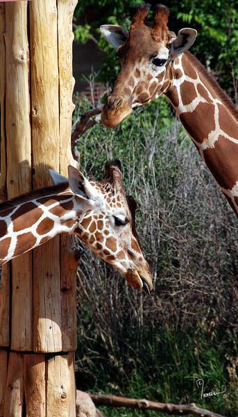 CMZ giraffes 2806 al sh200