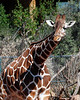 CMZ giraffe 2798 al sh200