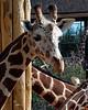 CMZ giraffe 2812 al sh200