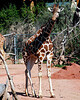 CMZ giraffe 2795 al il19 sh200