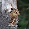 Chipmunk sticking its head through a hole in a tree
