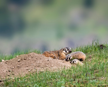 American Badger and Kits