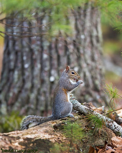 Gray Squirrel Eating an Acorn