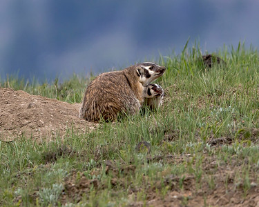 American Badger and Kit