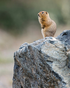 Arctic Ground Squirell