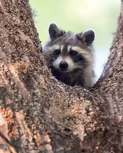Raccoon Finds Refuge