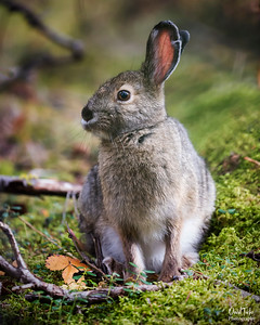 Snow-shoe Hare