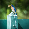 Eastern Bluebird with Mole Cricket