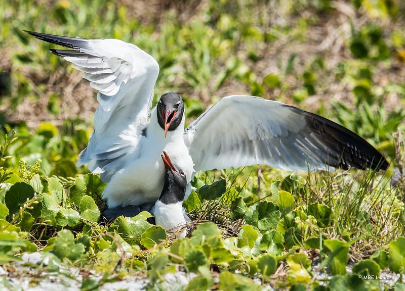 Intimate Gulls