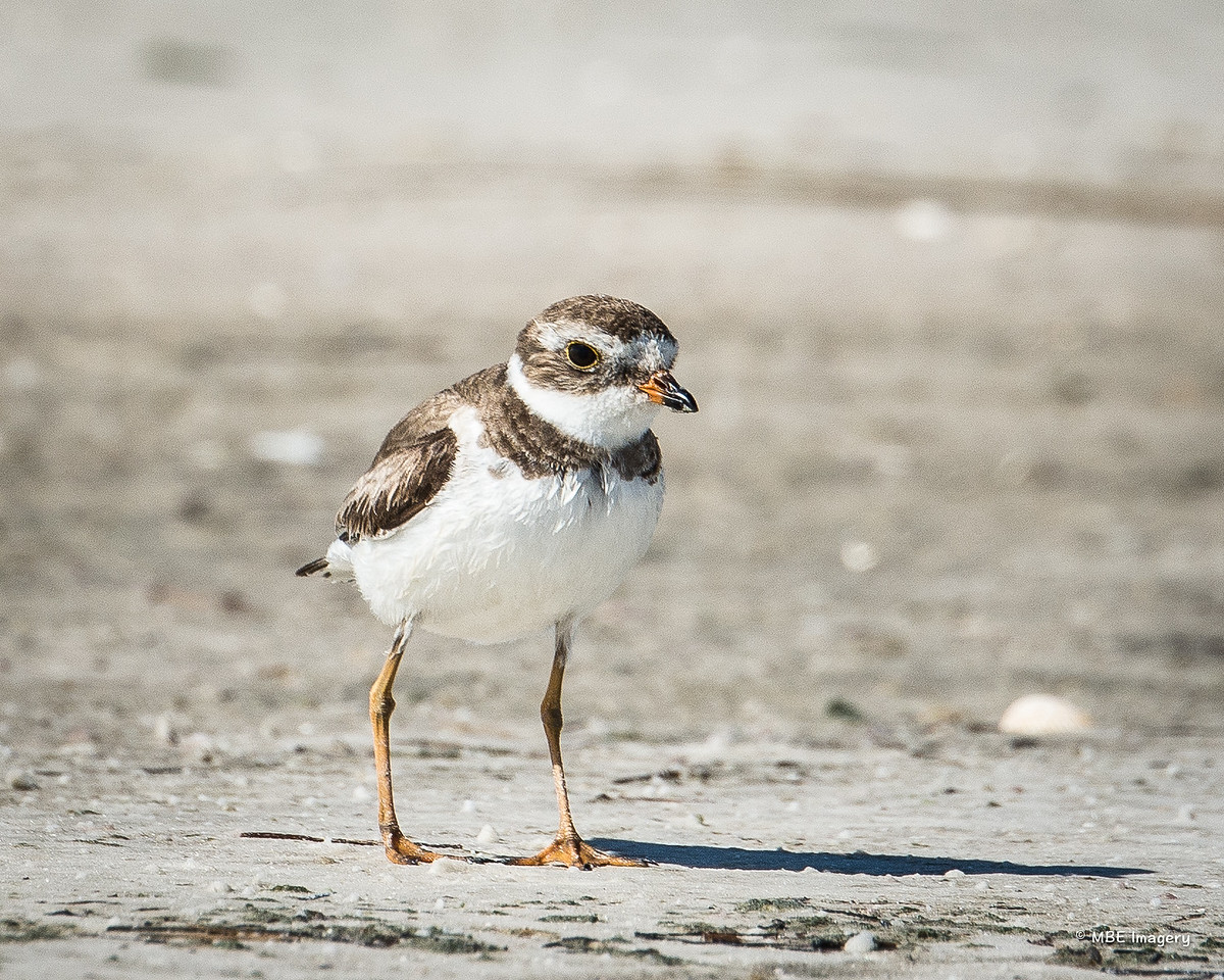 Semipalmated Plover, Three Rooker Bar, May 2016