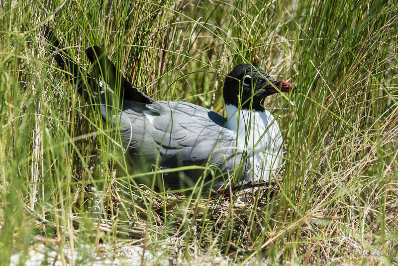 Laughing Gull on Nest