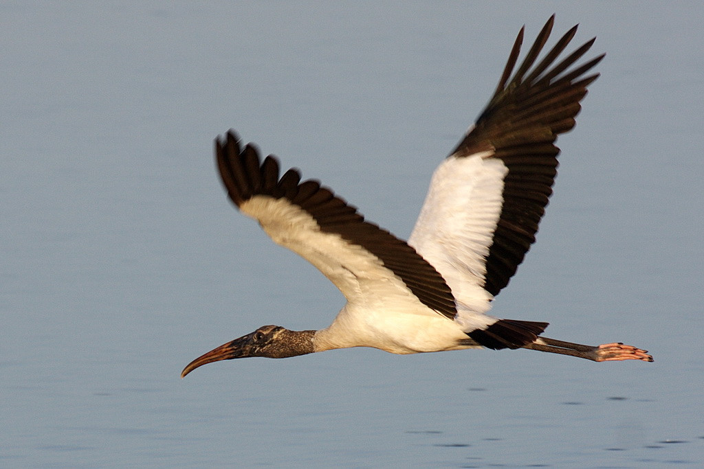7043 The same wood stork half a second later with its wings in up stroke.