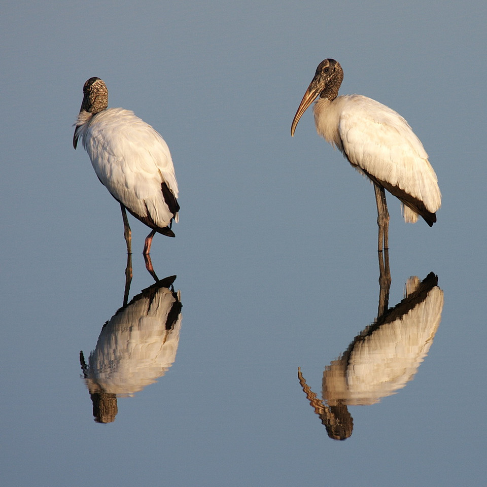 7035 Two wood storks and their reflections in still water.