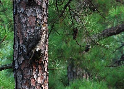 great horned owl, August in Cold Harbor, Mechanicsville, VA