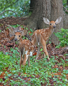 whitetail fawns, July in Cold Harbor, Mechanicsville, VA