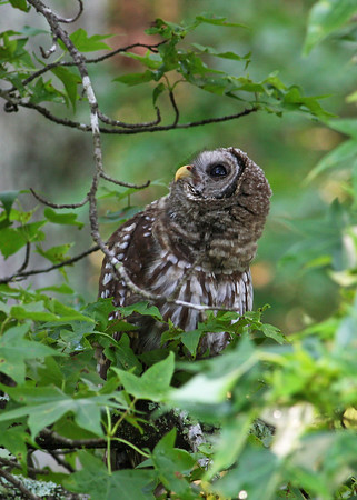 barred owl, June in Mechanicsville, VA
