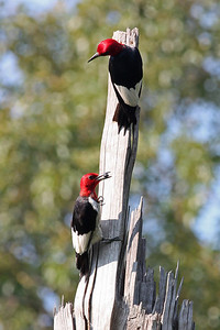 red headed woodpeckers, August in Cold Harbor, Mechanicsville, VA
