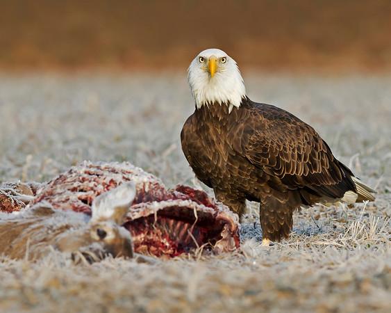 bald eagle lands for breakfast on a frosty November morning near the Chickahominy River, Mechanicsville, VA