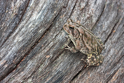 fowler's toad, July in Cold Harbor, Mechanicsville, VA