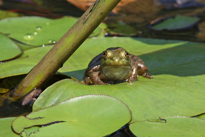 green frog, August in Cold Harbor, Mechanicsville, VA