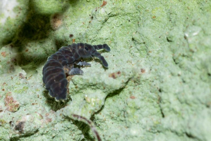 Springtail (Collembola). McKellar Hut, Greenstone Track