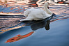 Swan on the lake at sunset