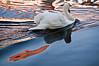 Swan on the lake at sunset
