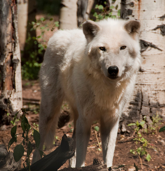 The Wildlife and Wolf Center in Divide, Colorado