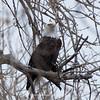 Bald-Eagle-7