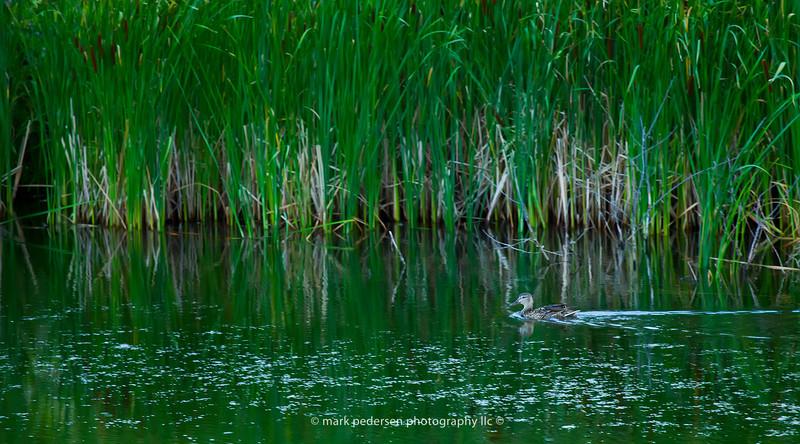Female Mallard glides across the water   Secret Spot   Aurora CO
