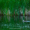 Female Mallard glides across the water | Secret Spot | Aurora CO