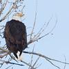 Bald-Eagle-02