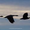 3-Snow-Geese