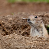 Praire Dog | Prairie dogs (genus Cynomys) are burrowing rodents native to the grasslands of North America. | Colorado