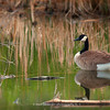 Male Lesser Canada Goose glides across the water | Secret Spot | Aurora CO