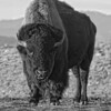 American Bison (Plains Bison) | Colorado | Image 2