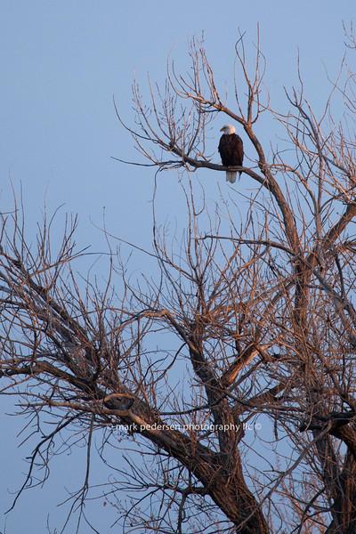 Barr-Lake-eagle