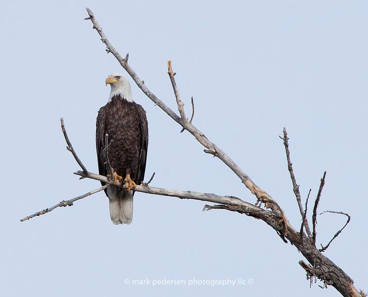 Bald-Eagle-01