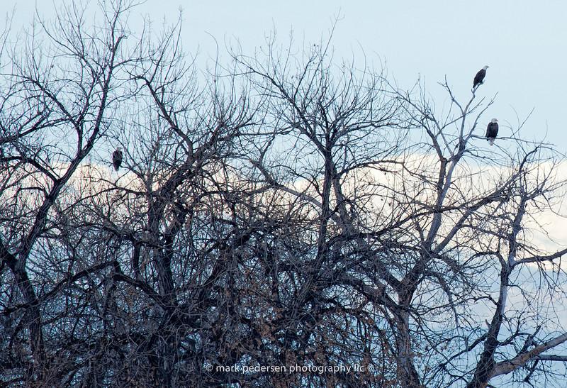 Bald-Eagles