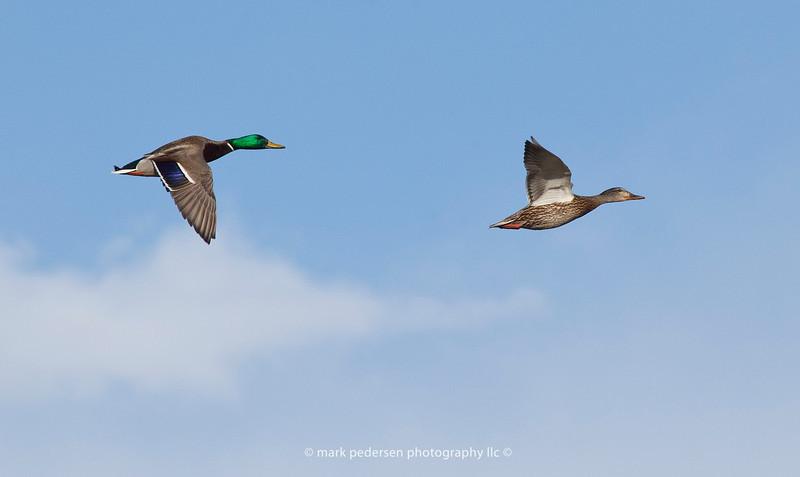 Male and Female Mallards take flight over the secret spot | Aurora CO | 2