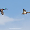 Male and Female Mallards take flight over the secret spot | Aurora CO | 2