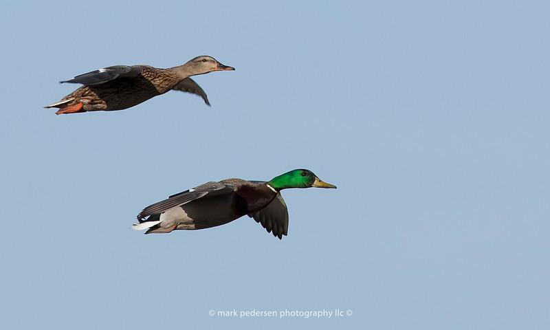Male and Female mallards in flight | Aurora, Colorado