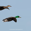 Male and Female mallards in flight | Aurora, Colorado