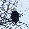 Bald-Eagle--6