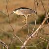 Black-crowned Night Heron | 07 | Secret Spot | Aurora Colorado | 2012